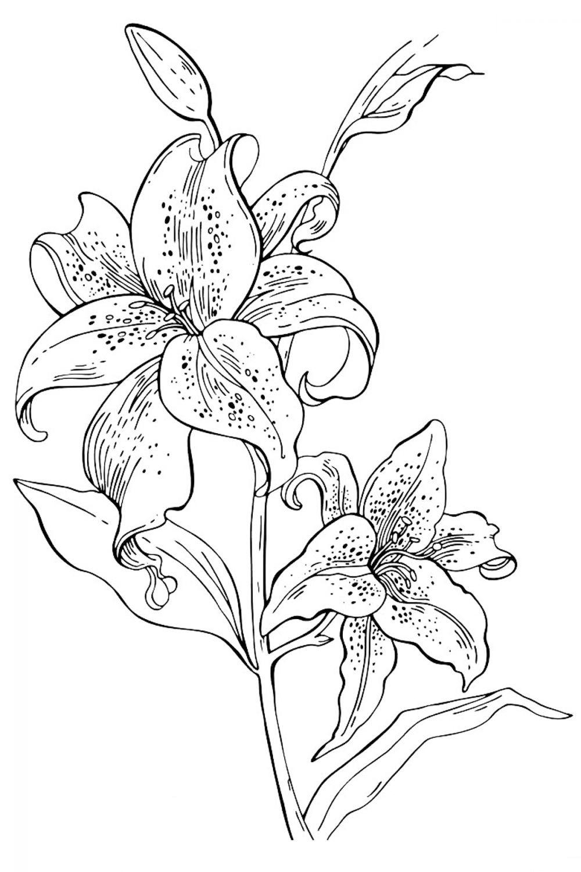 Раскраска Цветы Лилии - распечатать бесплатно