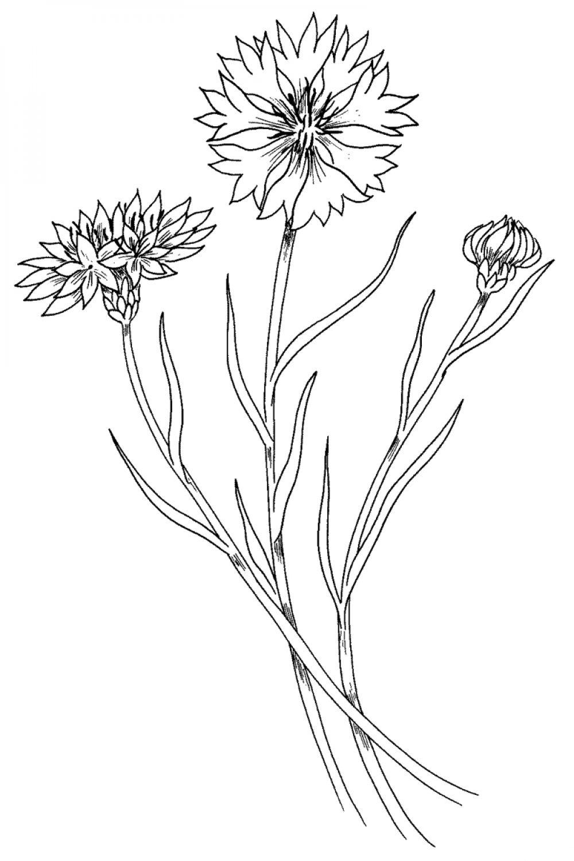 Рисунки василек луговой